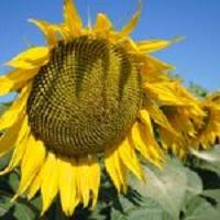 floarea soarelui LG 5452