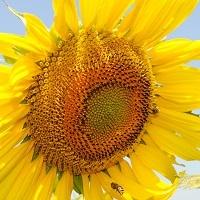 floarea soarelui LG 5492