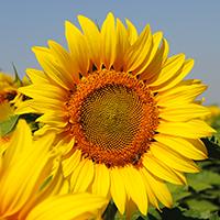 Floarea soarelui LG 5697