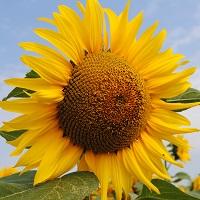 floarea soarelui lg 5631