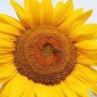 floarea soarelui lg 5485