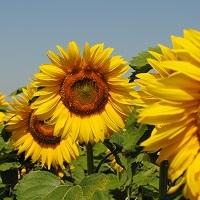 floarea soarelui lg 5542