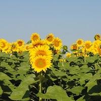 florarea soarelui lg 5633