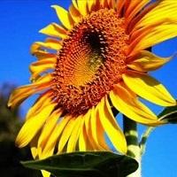 floarea soarelui lg 5635