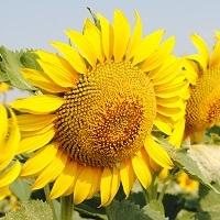 floarea soarelui lg 5661