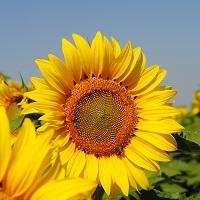floarea soarelui lg 5663
