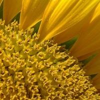 floarea soarelui lg 5665